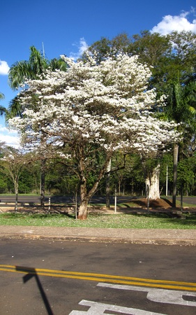 White Ipe, Tabebuia roseoalba, Bignoniaceae tree originating in Brazil and common in the Cerrado, one of the Brazilian biomes. Imagens
