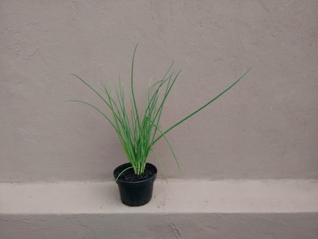 Chives in the pot - The chive is a widely cultivated small Eurasian plant related to the onion, with dense tufts of long tubular leaves that are used as a culinary herb.