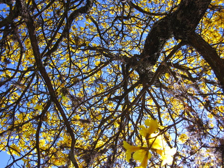 Yellow ipe - Branches - Handroanthus albus is a species of the genus Handroanthus tree. It is commonly called in Brazil yellow-ipe-of-saw, ipe gold, ipe-yellow.
