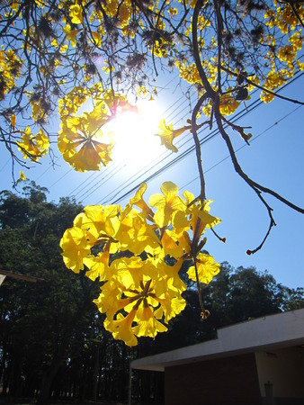 Yellow ipe - Handroanthus albus is a species of the genus Handroanthus tree. It is commonly called in Brazil yellow-ipe-of-saw, ipe gold, ipe-yellow.