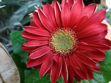 asterids: Gerbera flower - Red - The gerbera is a plant of the daisy family, native to Asia and Africa, with large brightly colored flowers Stock Photo