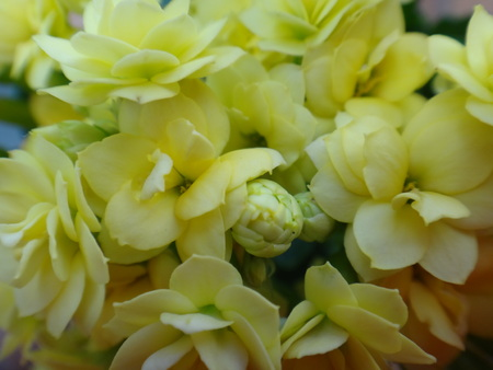 Yellow flowers kalanchoe a tropical succulent plant with stock stock photo yellow flowers kalanchoe a tropical succulent plant with clusters of tubular flowers sometimes producing miniature plants along the edges mightylinksfo