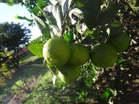 Lemon - Tree branches - Tropical yellow green lemon fruit Imagens