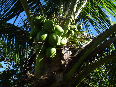 Closeup of young coconuts on coconut tree