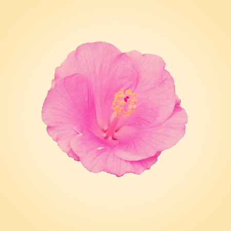 Pink hibiscus flower - Hibiscus sp., Known colloquially as chinese hibiscus, Chinese rose, Hawaiian hibiscus, and shoeblackplant, is a species of tropical hibiscus, a flowering plant in the Hibisceae tribe of the Malvaceae family, native to East Asia. Stock fotó