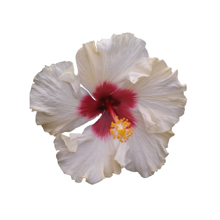 White hibiscus flower - Hibiscus sp., Known colloquially as chinese hibiscus, China rose, Hawaiian hibiscus, and shoeblackplant, is a species of tropical hibiscus, a flowering plant in the Hibisceae tribe of the Malvaceae family, native to East Asia. 版權商用圖片