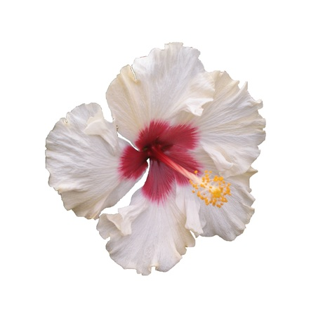 White hibiscus flower - Hibiscus sp., Known colloquially as chinese hibiscus, China rose, Hawaiian hibiscus, and shoeblackplant, is a species of tropical hibiscus, a flowering plant in the Hibisceae tribe of the Malvaceae family, native to East Asia. Stock fotó
