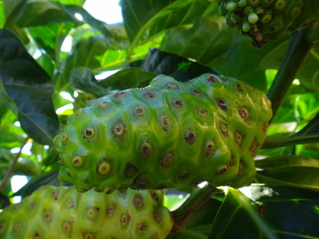 Noni - Fruit - Great morinda, Indian mulberry are some of the common names of Morinda citrifolia.n Stock Photo