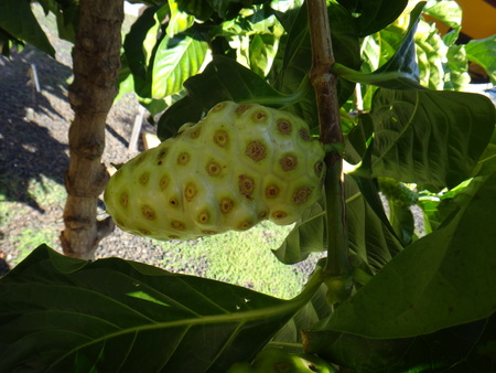 Noni - Great Morinda, Indian mulberry are some of the common names of Morinda citrifolia.
