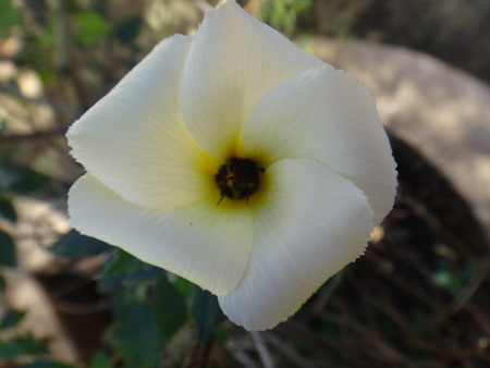 Flower of Sida sp. - Insect - Sida sp. (arrowleaf) is a perennial or sometimes annual plant in the Malvaceae family, native to the New World tropics and subtropics. Other common names include rhombus-leaved aids, paddys lucerne, jelly leaf, and also some