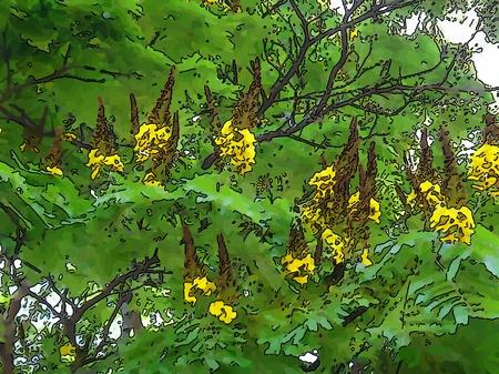 Sibipiruna, false brazilwood, momoqui, coffeewood or partridgewood - Caesalpinia is a genus of flowering plants in the legume family, Fabaceae.