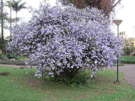white sheet: Manaca tree - Mercury, romeo and juliet, morning noon and night, day-noon-night, yesterday-today-and-tomorrow, royal purple brunfelsia, tree, bella union, lady of the night, christmas bloom, good night, paraguay jasmine , morning-noon-and-night or kiss me