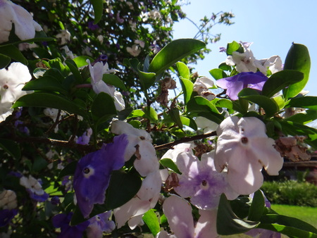 Manaca branches - Mercury, romeo and juliet, morning noon and night, day-noon-night, yesterday-today-and-tomorrow, royal purple brunfelsia, tree, bella union, lady of the night, christmas bloom, good night, paraguay jasmine , morning-noon-and-night or kis