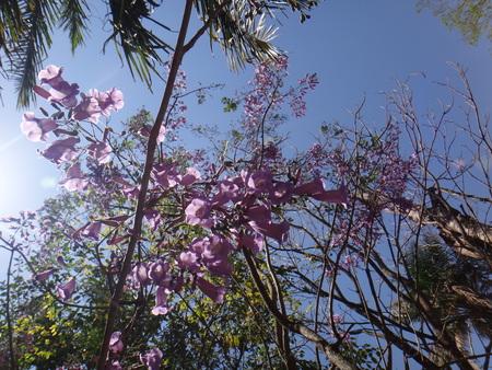 Jacaranda branches - Jacaranda, black poui, blue jacaranda, brazilian rose wood, brazilian rosewood, brazilian caroba-tree, fern tree, green ebony, green ebony, jambol merah, jambul merak or jacaranda tree - The jacaranda is a tropical American tree that