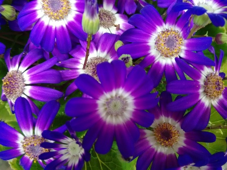 The cineraria is a plant of the daisy family with compact masses of bright flowers, often cultivated as a houseplant Stock Photo