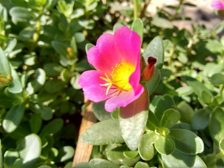 Portulaca, green purslane, cultivated purslane, sun jewel, ten oclock flower, eleven oclock, shaggy portulaca, hairy portulaca, vietnam rose, seashore purslane, mexican rose, kiss me quick or little hogweed - The purslane is any of a number of small, typically fleshy-leaved plants that grow in damp habitats or waste places, in particular.