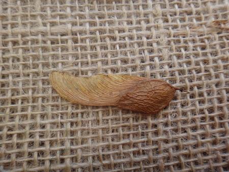 Tipuana tipu - Seed