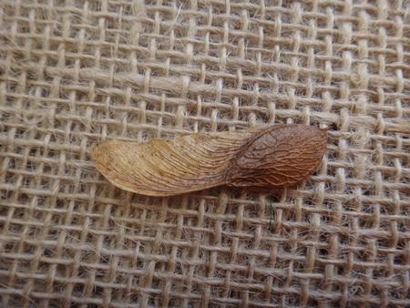 Tipuana tipu - Seed Imagens