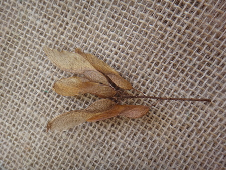 Tipuana seeds in a branchlet