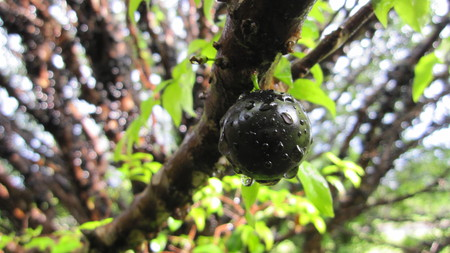 Brazilian grape tree, jaboticaba, jabotica, jabuticabeira, guaperu, guapuru, hivapuru, sabara or yvapuru - The jaboticaba fruit tree has a habit of producing the fruit directly on the trunk makes this a striking tree. The black fruit has an edible thin, but tough skin.