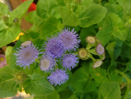 Goat weed, blue top, mother brinkley, tropical ageratum, white weed, appa grass, bastard argimony, billy goat weed, chick weed, mother brinkly, invading ageratum, tropic ageratum, floss flower or winter weed - Ageratum conyzoides is a species of flower plant belonging to the family Asteraceae