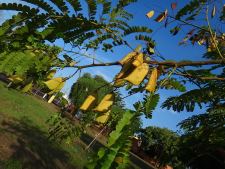 Sappan wood tree, sappan lignum, sappan caesalpinia, japan wood, bakkum wood, indian redwood, red bud, brezel wood, bois sappan, patanga-chekke sappanga or brazilwood tree - Caesalpinia sappan is a species of flowering tree in the legume family, Fabaceae , that is native to Southeast Asia.