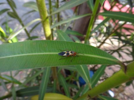 Boxelder bug in oleander leaf