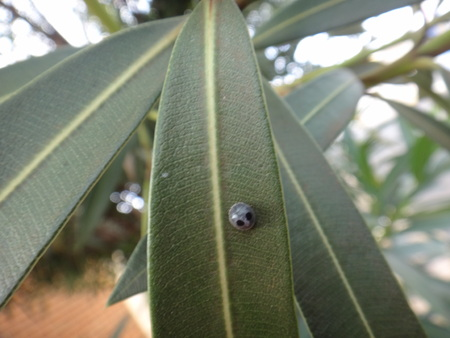 Globe-marked lady beetle in oleander plant - Ladybugs (family Coccinellidae), also called lady beetles or ladybird beetles
