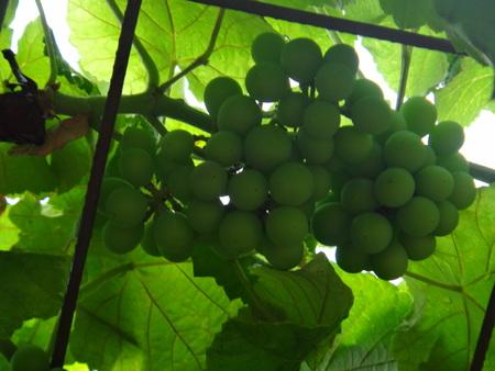 Grape, wine grape, purpleleaf grape, common grape, fox grape, concord grape, ashy grape, raisin