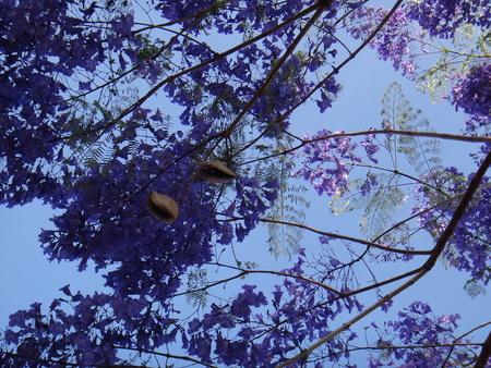 Jacaranda, black panda, blue jacaranda, brazilian rose wood, brazilian rosewood, brazilian caroba-tree, fern tree, green ebony, green ebony, jambol merah, jambul merak or jacaranda tree - The jacaranda is a tropical American tree that has blue or lilac trumpet-shaped flowers, fernlike leaves, and fragrant timber. Stock Photo