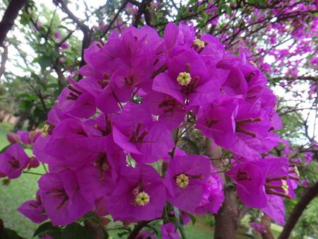 Bougainvillea, colorado spruce, great bougainvillea, morinda spruce, lesser bouganvillea or paper flower