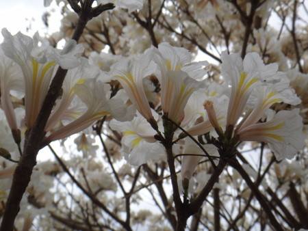 lamiales: Branches - White ipe tree, white trumpet tree, lapacho blanco or ip? white - White Ipe, Tabebuia roseoalba, Bignoniaceae tree originating in Brazil and common in the Cerrado, one of the Brazilian biomes.