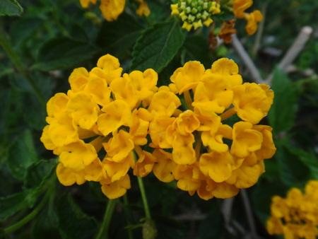 Lantana, largeleaf lantana, kamara lantana, bush lantana, common lantana, west indian lantana, curse of india, birds brandy, cherry pie, sleeper weed, hedgeflower, nettleleaf shrub verbena, arch man, sweet sage, big-sage, red-sage , white-sage, wood sage, wild sage or yellow sage - Lantana camara is a species of flowering plant within the verbena family, Verbenaceae, that is native to the American tropics.