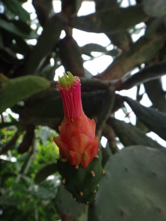 Flower - Indian fig opuntia, indian fig, barbary fig, cactus pear, spineless cactus, prickly pear, mission cactus, mission prickly pear, smooth mountain prickly pear, smooth prickly pear, sweet prickly pear, tuberous prickly pear or tuna cactus - Opuntia ficus -indicates a species of cactus that has long been a domesticated crop plant important in agricultural economies throughout arid and semi-arid parts of the world.