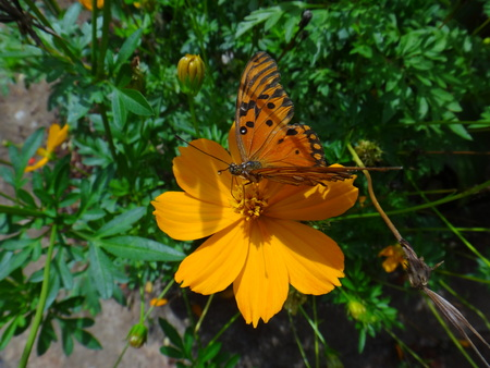 Butterfly gulf fritillary in the flower of cosmos