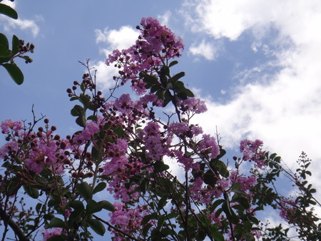 Beautiful queens crepe myrtle flowers with blue sky and blured cloud - Crape myrtle, crepe myrtle, crepe flower, common crape myrtle, chinese crape myrtle, bungor, queens crepe myrtle, queen flower, cheeni mehndi, bonnet flower, rose of india or pride of India - Lagerstroemia can be deciduous or evergreen trees or shrubs, with simple leaves and conical panicles of flowers with ruffled petals; some have attractive peeling bark.
