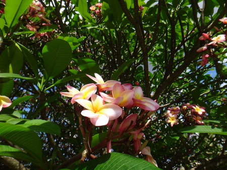 Plumeria rubra. This plant is a tropical American tree or shrub with clusters of fragrant white, pink or yellow flowers.