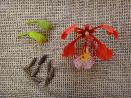 Seed, flower and bud - Flamboyant Stock Photo