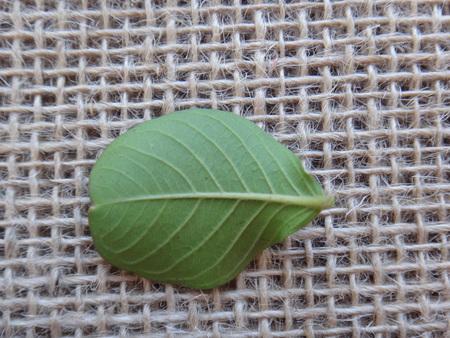 Leaf - Crape myrtle