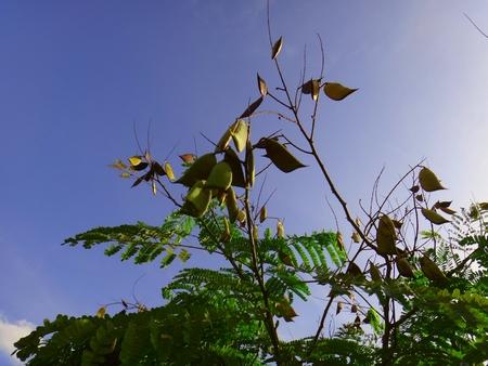 Sappanwood branch - Pods