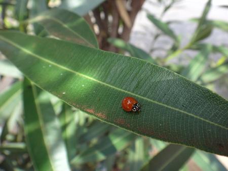 Ladybug in oleander plant
