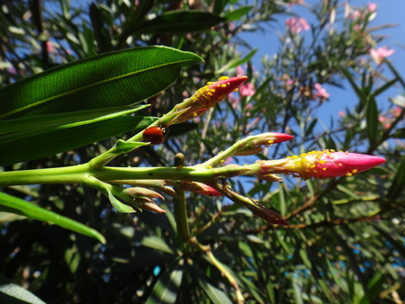 Ladybird and nerium aphid in oleander plant