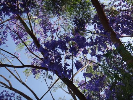 Jacaranda branches - Flowers