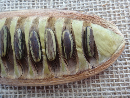 Delonix regia - Split seed pod and mature seeds