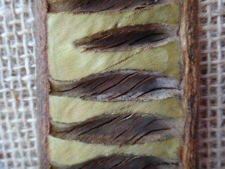 Delonix regia - Split seed pod