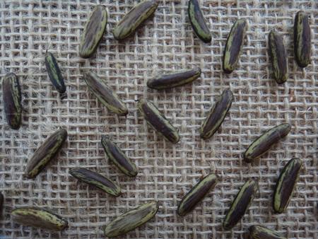 Delonix regia - Mature seeds