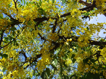 Yellow flowers of Cassia fistula