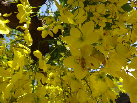 Yellow flowers of Cassia fistula