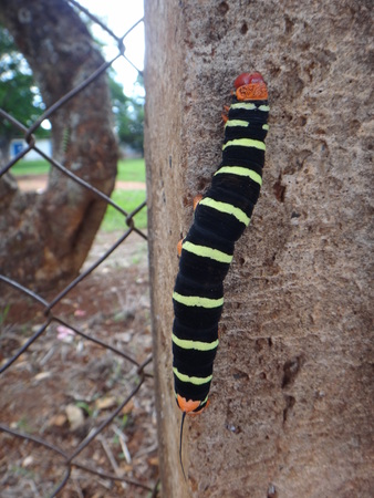 giant gray sphinx frangipani hornworm or plumeria caterpillar