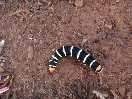 Tetrio sphinx, giant gray sphinx, frangipani hornworm or plumeria caterpillar (Pseudosphinx tetrio)